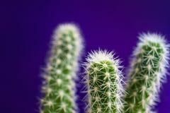Close-up drie groene cactus stamt met patroon van witte doornen op in violette achtergrond Stock Fotografie