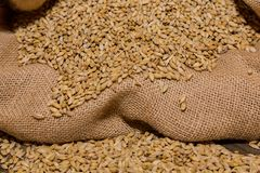 Close-up Dried Barley Malt in a sack for brewing beer. One of the main ingredients for brewing beer of all kinds Stock Photo