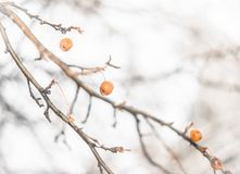 Close-up of dried crab apples on the tree in winter. Dried up crab apples in winter with snow covering them hanging from limb Stock Photo