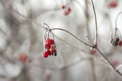 Close-up of dried frozen bunch of bright ripe guelder-rose red b royalty free stock images