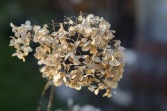Close up of a dried hortensia against blurry background. royalty free stock image