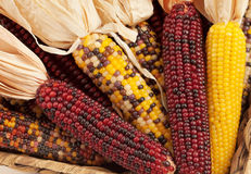 Close Up of Dried Indian Corn in Fall Season Stock Image