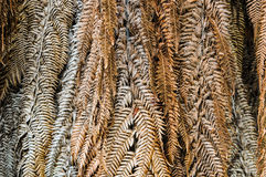 Close up dried leaves of palm tree, nature abstract background. Leaves are often dried to use as decorations in craft projects, or to preserve herbs for use in Royalty Free Stock Images