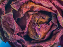Close up  dried rose flower Royalty Free Stock Photography
