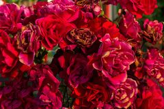 Close-up of dried roses flowers. Close-up of withering roses on a bushbackground Royalty Free Stock Images