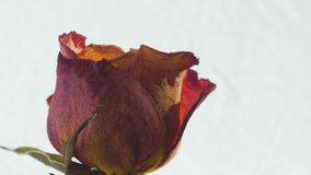 Close-up of dried roses rotating on a white background stock video footage
