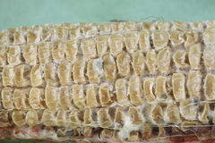 Close up on dried shrunken corn kernels. On cob interspersed with white filamentous and some patches of fluffy mold.  On green background Royalty Free Stock Photos