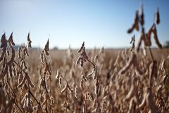 Close up on dried soy bean plants showing the pods Royalty Free Stock Image