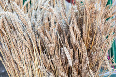 Close-up of dried stalks of wheat Royalty Free Stock Photos