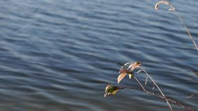 Close up of dried water plants in the front of a lake stock video footage