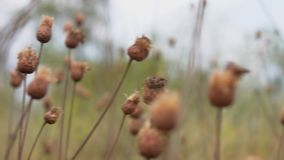 Dried weeds buds stock video