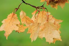 Close up of driend fall leaves Stock Image