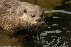 Close-up of dripping wet Asian short-clawed otter Royalty Free Stock Photo
