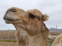 Close up of a dromedary or Arabian camel Royalty Free Stock Images