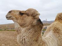 Close up of a dromedary or Arabian camel Royalty Free Stock Image