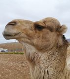 Close up of a dromedary or Arabian camel Royalty Free Stock Photo