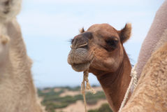 Close-up of a Dromedary Camel Stock Photo