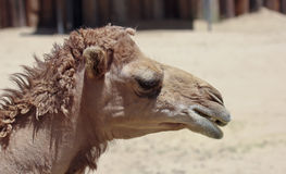 A Close Up of a Dromedary Camel Royalty Free Stock Image