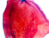 Close up of dropping red field poppy petals with wet water dew d Royalty Free Stock Image