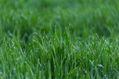 Close-up drops of dew on young fresh green grass stock images