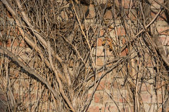 Close up dry creeping branches on brick wall Stock Photo