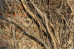 Close up dry creeping branches on brick wall Royalty Free Stock Photography
