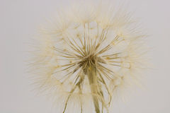 Close up of dry dandelion isolated Stock Photos