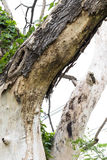 Close-up of dry dead bark. Royalty Free Stock Photos