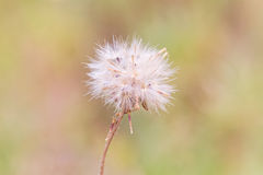 Close up dry flower of  white dandelion Royalty Free Stock Image