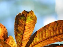 Close-up of dry and golden leaves on blue background royalty free stock image