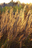 Close-up dry grass field over setting sun background Royalty Free Stock Image
