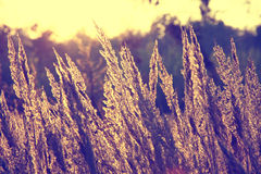 Close-up dry grass field over setting sun background Royalty Free Stock Photography