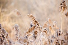 Close-up of dry grass in the frost and shadow on snow Royalty Free Stock Image