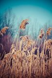 Close-up of dry grass in the frost and shadow on snow Royalty Free Stock Photography