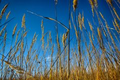 Close up of dry grass from the ground. Royalty Free Stock Photography