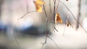 Close-up of a dry leaf sway quietly in the wind on a noon. Tree branches in the fall stock footage