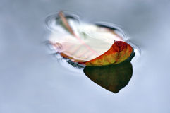 Close up dry leaf on water in autumn Stock Image