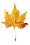 Dry maple leaf. Close up of dry maple leaf over white Royalty Free Stock Images
