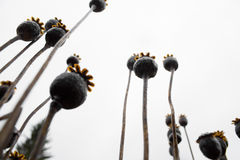 Close-up dry opium plant Stock Images