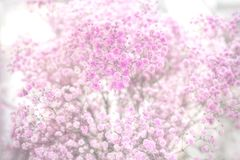 Dried baby`s breath Royalty Free Stock Images