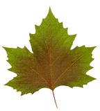 Plane tree leaf Royalty Free Stock Photo