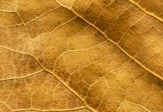 Close up of dry poplar leaves for a background.Dry leaf background. Yellow leaves pattern.Autumn yellow leaf close-up, background. For design stock images