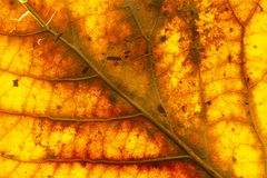 Close up of dry poplar leaves for a background.Dry leaf background. Yellow leaves pattern.Autumn yellow leaf close-up, background. For design royalty free stock image