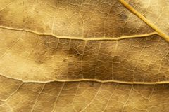 Close up of dry poplar leaves for a background.Dry leaf background. Yellow leaves pattern.Autumn yellow leaf close-up, background. For design stock photography