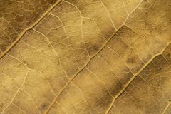 Close up of dry poplar leaves for a background.Dry leaf background. Yellow leaves pattern.Autumn yellow leaf close-up, background. For design stock photos