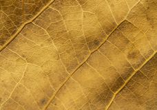 Close up of dry poplar leaves for a background.Dry leaf background. Yellow leaves pattern.Autumn yellow leaf close-up, background. For design royalty free stock photo