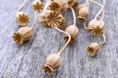 Close-up of dry poppy seed pods stock photos