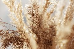 Close up of dry reed grass golden flower, selective focuse. Close up of dry reed grass golden flower Stock Images