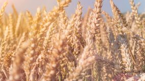 Close up of dry ripe golden wheat spikes in sun flares Royalty Free Stock Images