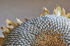 Close-up of a dry sunflower head Stock Photo